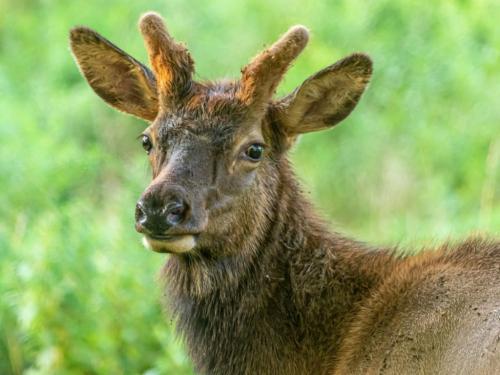 Yearling Bull Elk 6 7.5 7.5 21 Don Poulton  Nature Master