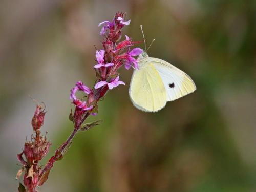 Cabbage White Butterfly 8 8 8 24 DP Dan Copeland  Nature Master