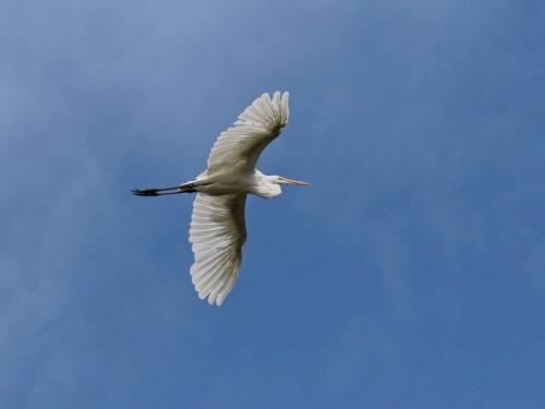 Egret 6.5 7 7.5 21 Dan Copeland  Nature Master
