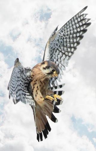 Kestrel Coming In For A Landing 6 8 8 22 Dan Copeland  Pictorial Master
