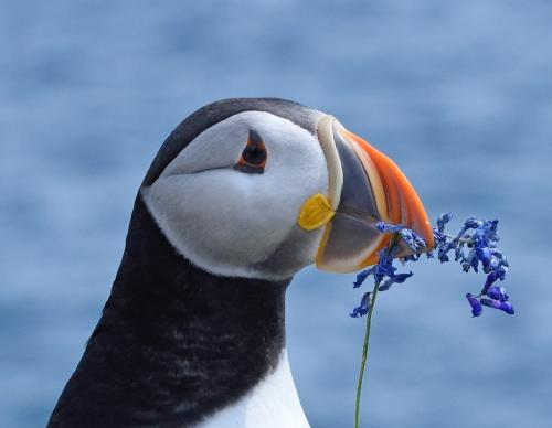 Puffin With Flower by Carey Hope - Nature