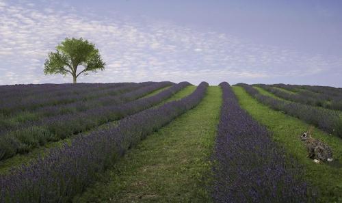 Lavender Field 22.5 Pictorial Gold Ezbieta Piskorz