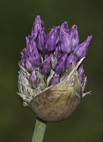 Wild Garlic 23.5 Nature Gold GPP Ezbieta Piskorz