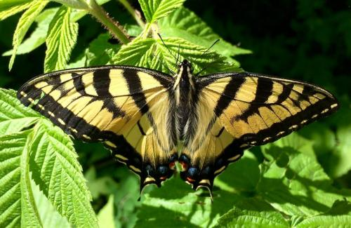 Tiger Swallowtail Butterfly 21 Nature Gold Ian Porszt