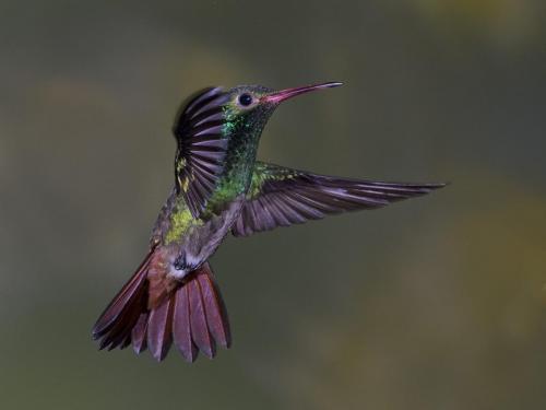 Rufous tailed hummingbird 24.5 Nature Master DP David Seldon