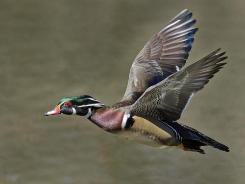 Wood Duck 22 Nature Master David Seldon