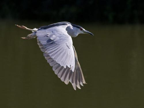 Black crowned night heron 22 Nature Master David Seldon