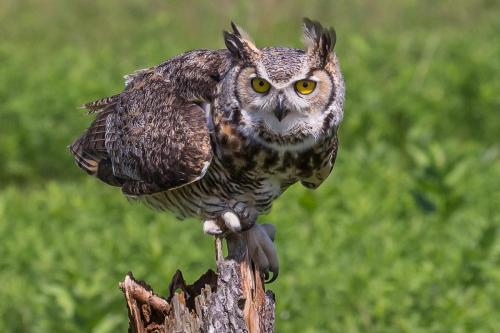 GREAT HORNED OWL 1 23 Nature Gold GPP Jim Swire
