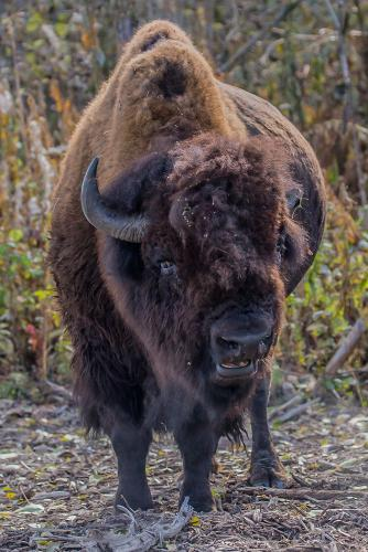 WOOD BISON UP CLOSE AND PERSONAL 21.5 Pictorial Gold Jim Swire