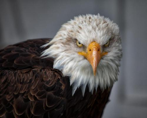 Bald Eagle 20.5 Nature Silver Jim Sykes