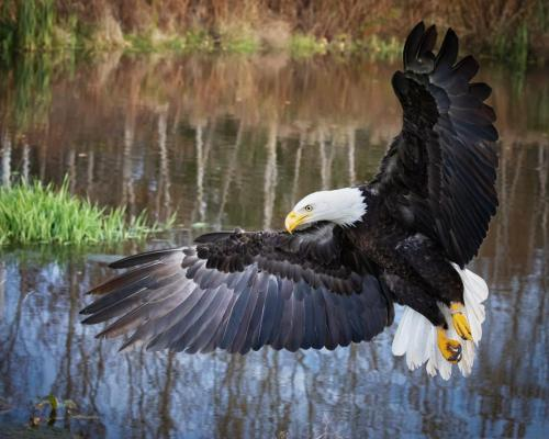 Bald Eagle about to land 23.5 Pictorial Silver HM SPP Jim Sykes
