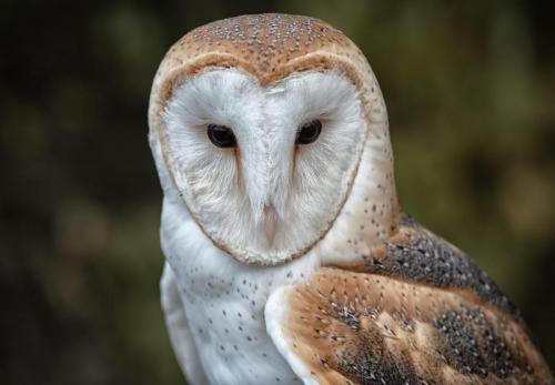 Barn Owl 23 Nature Silver SPP Jim Sykes