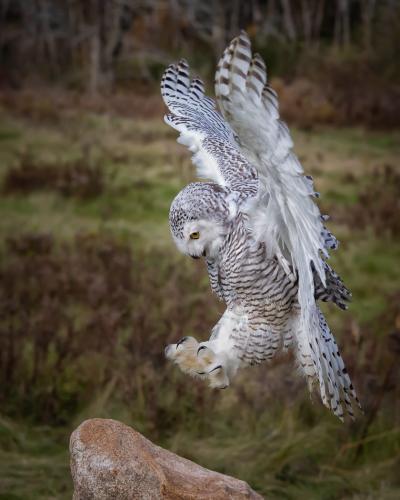 Snowy Owl landing 25.5 Nature Silver TC SPP Jim Sykes