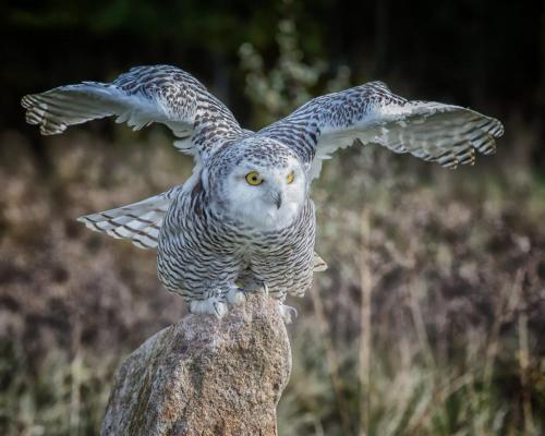 Snowy Owl take off 23 Nature Silver SPP Jim Sykes