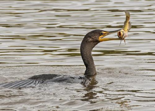 Double Crested Cormorant 25.5 Nature Gold TC GPP Art Ward