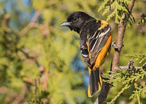 Male Baltimore Oriole 22 Nature Gold Art Ward