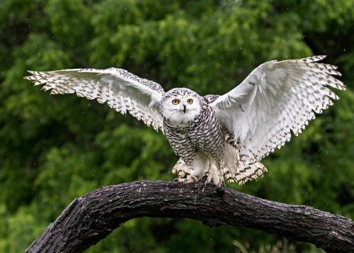 Snowy Owl 25 Pictorial Gold HM GPP Art Ward