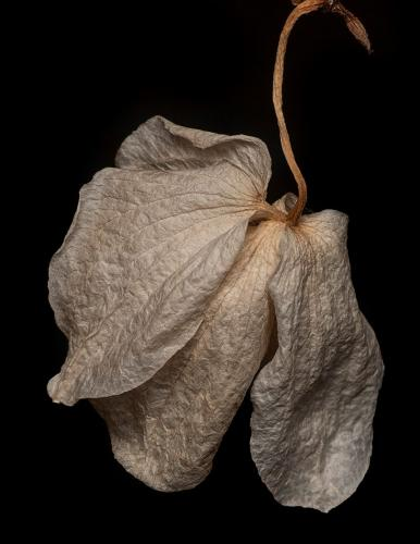 Fading Orchid 22 Pictorial Gold Kathy Ward
