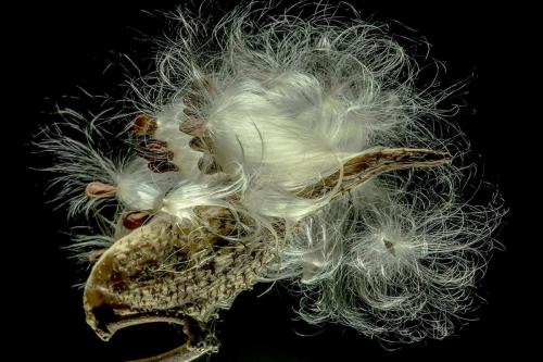 Silky Milkweed Seeds 24.5 Pictorial Gold HM GPP Kathy Ward