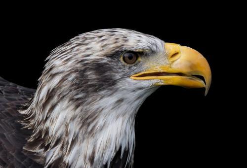 Bald Eagle 23 Pictorial Gold GPP Pat Wintemute