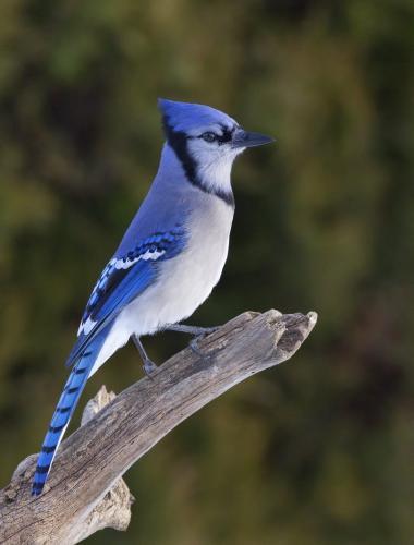 Blue Jay 24.5 Nature Gold HM GPP Pat Wintemute