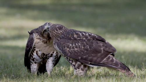 Two Red-tailed Hawks 22.5 Nature Gold Pat Wintemute