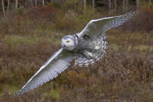 Snowy Owl 25.5 Nature Gold TC GPP Pat Wintemute