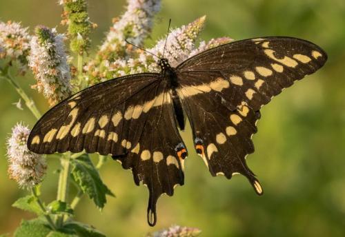 Giant Swallowtail 21.5 Nature Gold David Evans