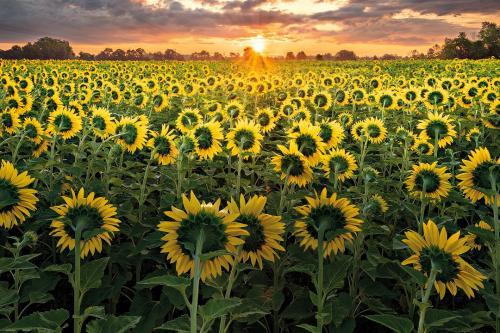 Sunflowers 23.5 Pictorial Bronze HM BPP Bo Chen