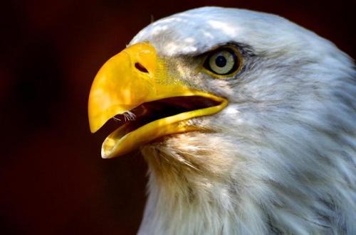 Eagle 20.5 Pictorial Bronze Caroline Way