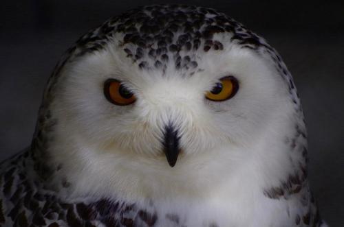 Snowy Owl 21.5 Pictorial Bronze BPP Caroline Way