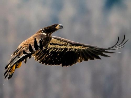 Eagle landing 19.5 Nature Master Peter Bartens