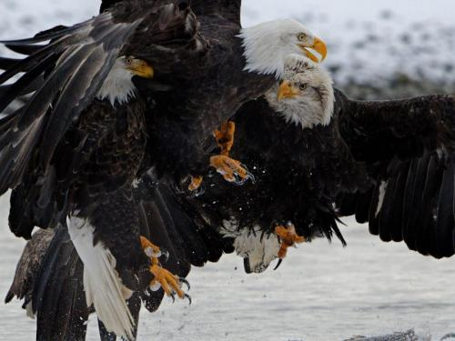 Three Bald Eagles Fighting 21.5 Nature Master Peter Bartens