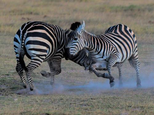 Zebra Fight 22.5 Nature Master Peter Bartens