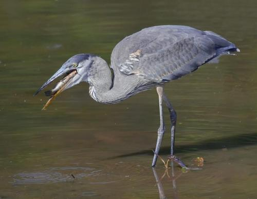 Great Blue Heron with Fish 25 Nature Gold HM GPP Colleen Bird