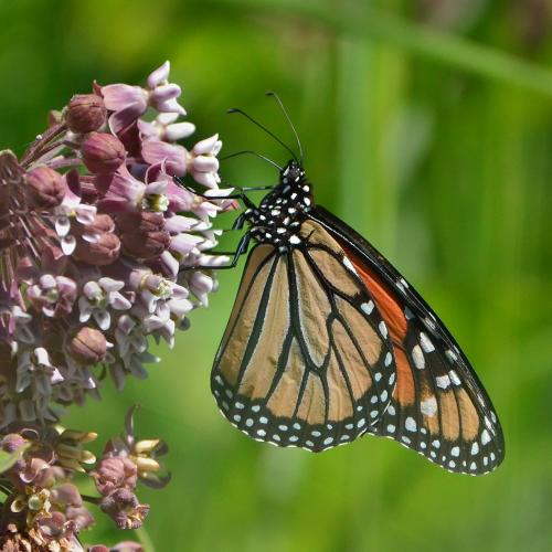 Monarch Butterfly on Milkweed 22 Nature Gold Colleen Bird