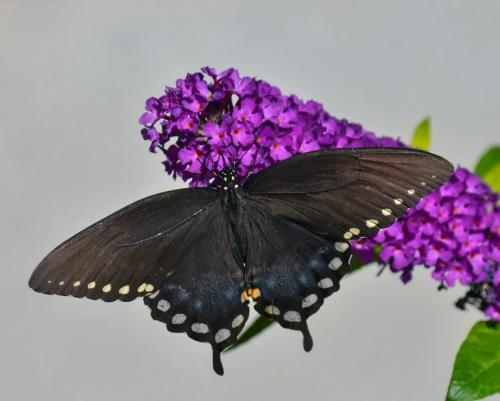 Spicebush Swallowtail Butterfly 21.5 Nature Gold Colleen Bird