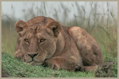 Lioness Hunting 23.5 Nature Gold GPP John Chapman