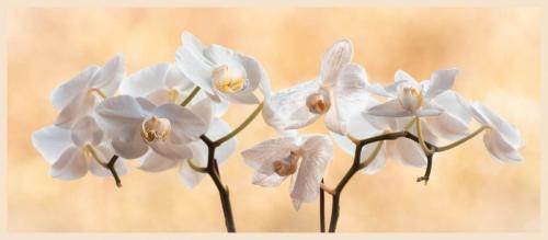 Phalaenopsis 23 Pictorial Gold GPP John Chapman