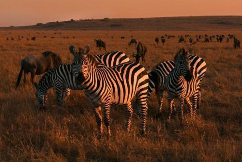 Zebras & Wildebeast 23 Nature Gold GPP John Chapman