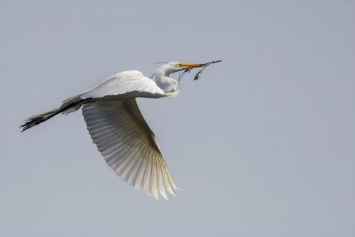 Great Egret 24.5 Nature Silver TC SPP Peter Chow