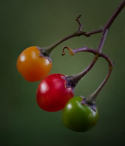 Deadly Nightshade Berries 22.5 Nature Gold Doug Doede