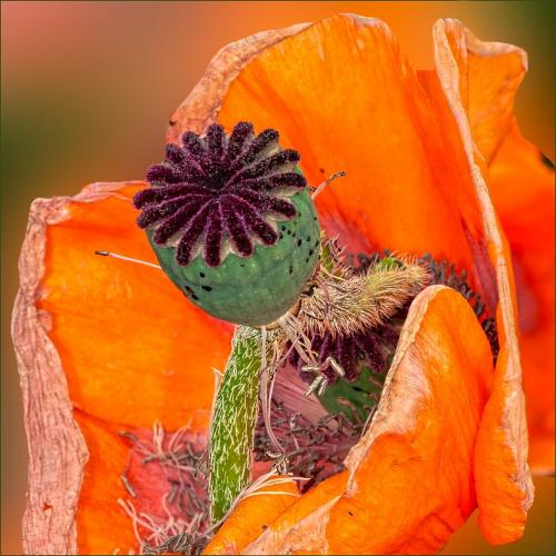 Aging Poppy 22 Pictorial Gold Geoff Dunn
