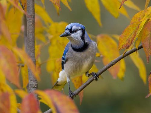 Autumn Blue Jay 23.5 Nature Silver HM SPP Brian Floyd