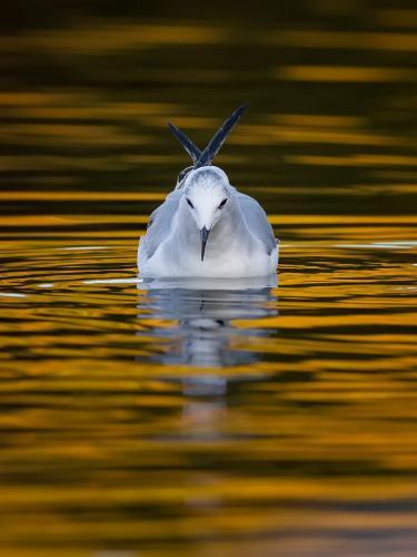 Bonaparte's Gull 24 Nature Silver HM SPP Brian Floyd