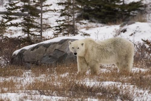Polar Bear 24 Nature Master DP Marilyn Jarrett