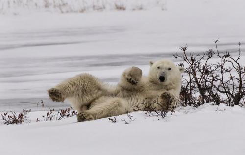 Reclining Polar bear 26 Nature Master TC DP Marilyn Jarrett