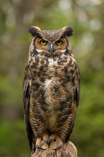 Great Horned Owl 22.5 Nature Silver SPP Marcus Kelly