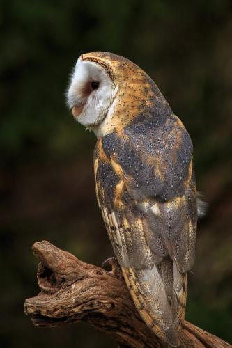 Barn Owl 23 Nature Silver SPP Marcus Kelly