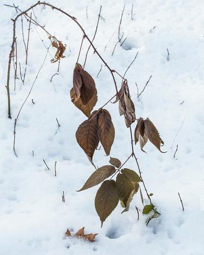 Prickly Ash in Snow 22.5 Pictorial Silver SPP John King